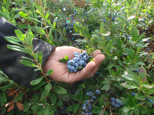 Blueberries - Allan L. Cooper 2009